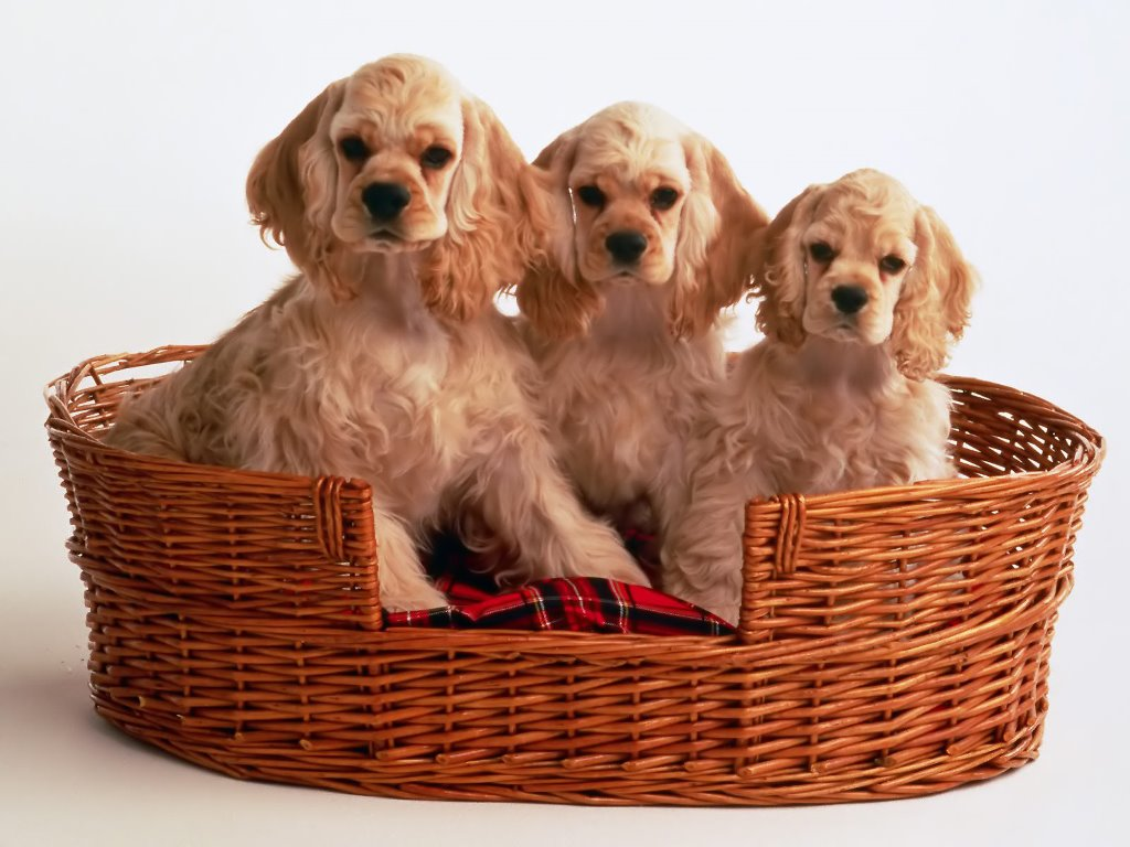 Nature Wallpaper: Cocker Spaniel - Puppies