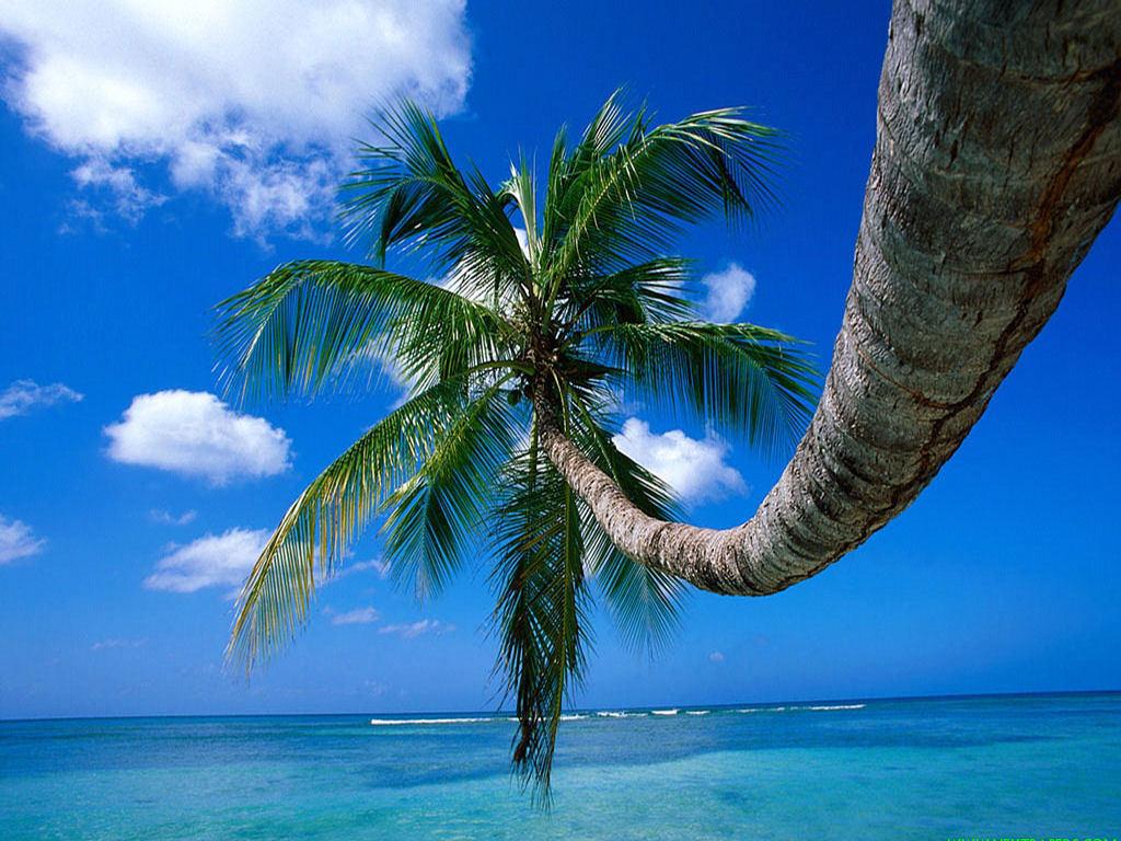 Nature Wallpaper: Coconuts Tree