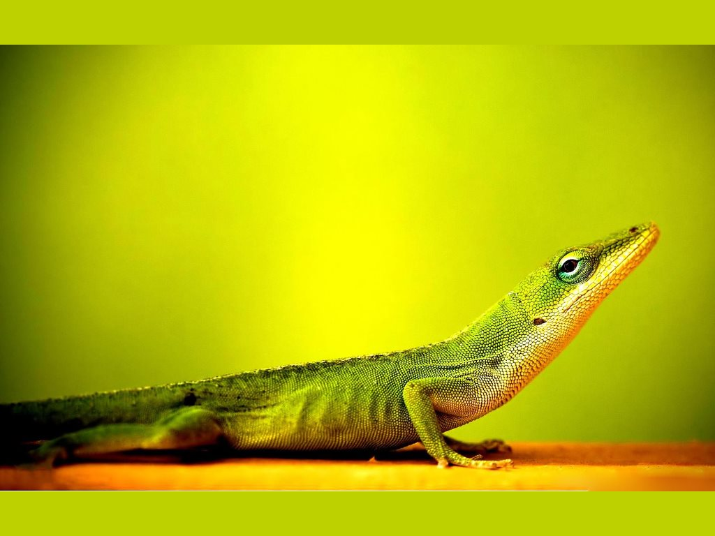 Nature Wallpaper: Lizard