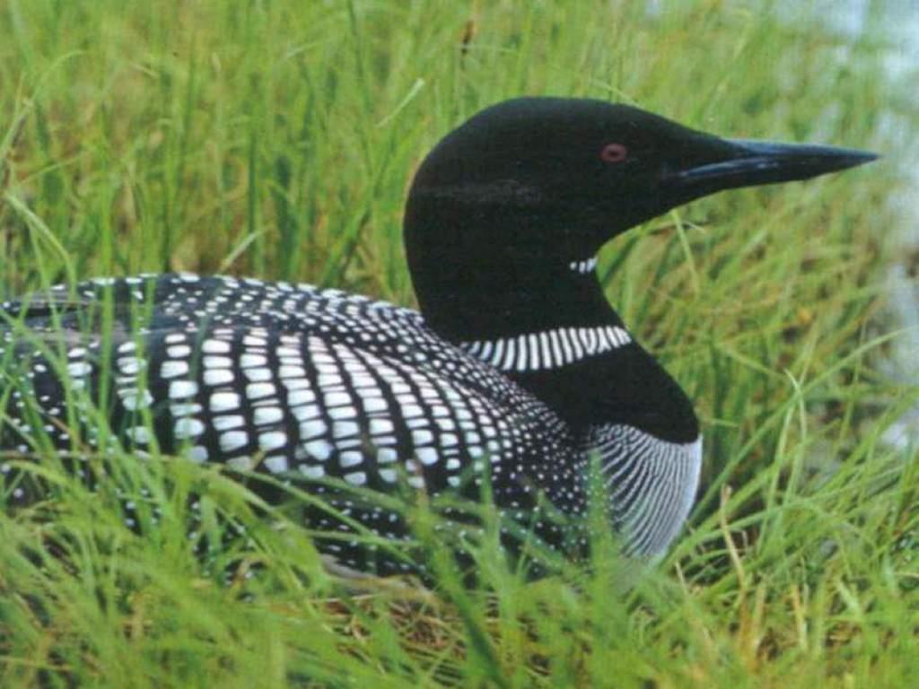 Nature Wallpaper: Common Loon Duck