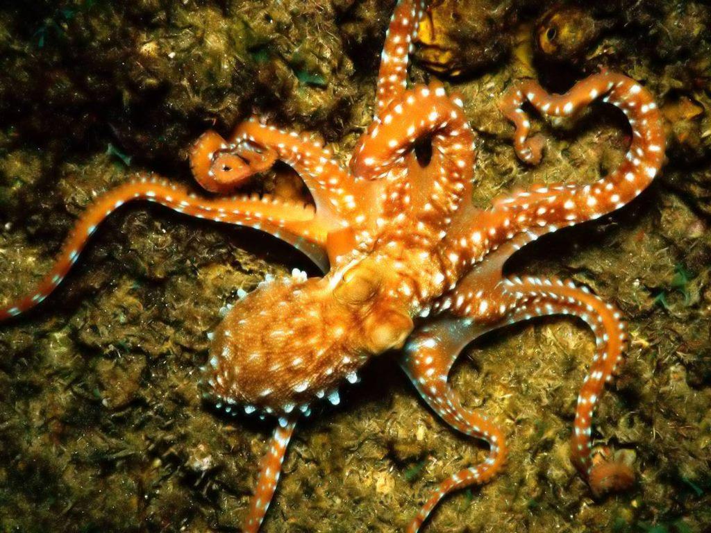 Nature Wallpaper: Common Octopus