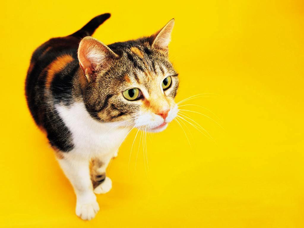 Nature Wallpaper: Cool Cat