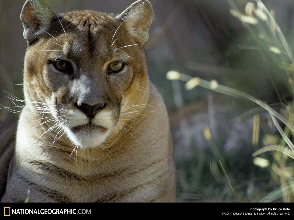 Nature Wallpaper: Cougar