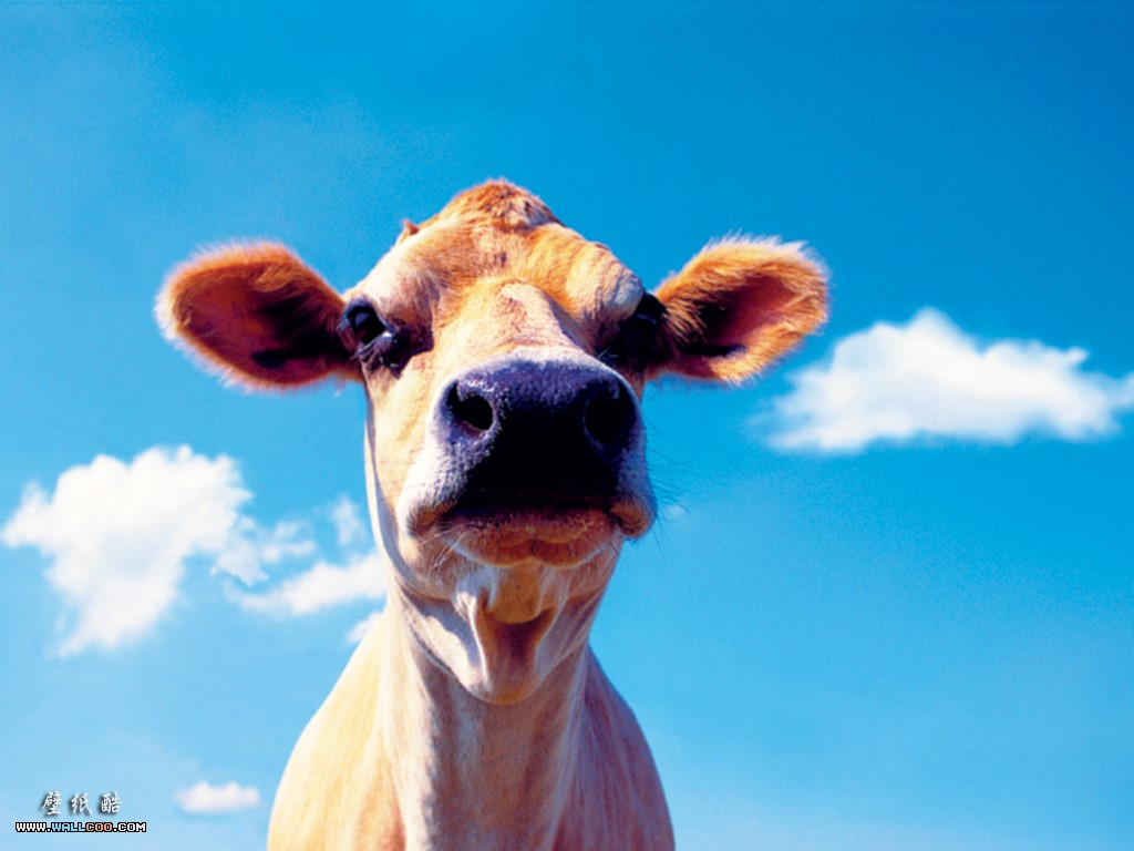 Nature Wallpaper: Cow