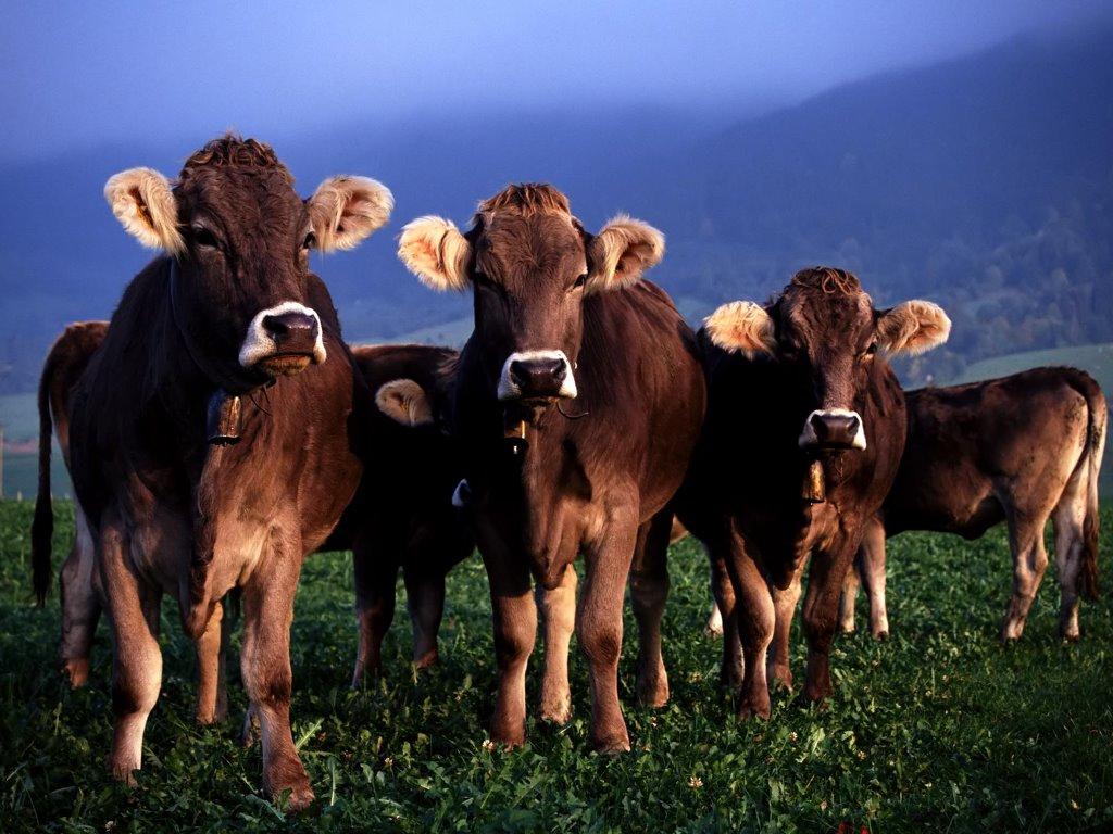 Nature Wallpaper: Cows