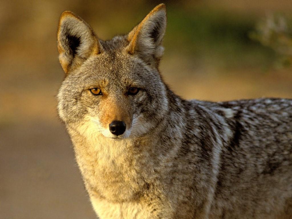 Nature Wallpaper: Coyote