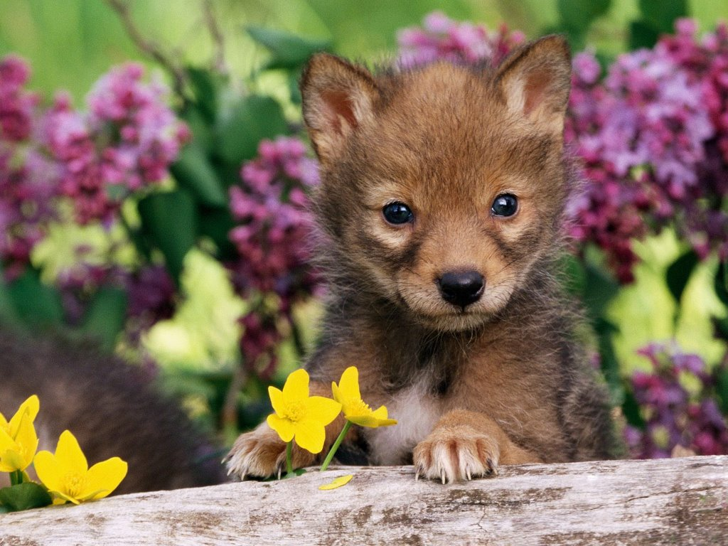 Nature Wallpaper: Coyote - Pup