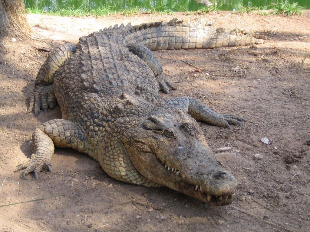 Nature Wallpaper: Crocodile