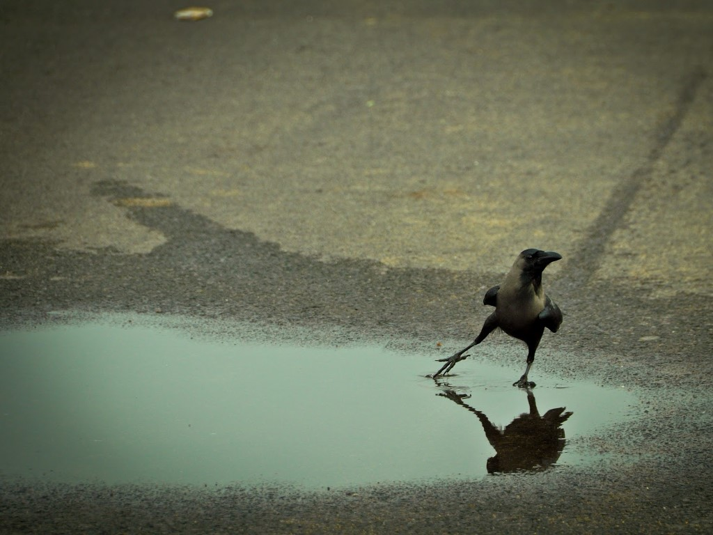 Nature Wallpaper: Crow