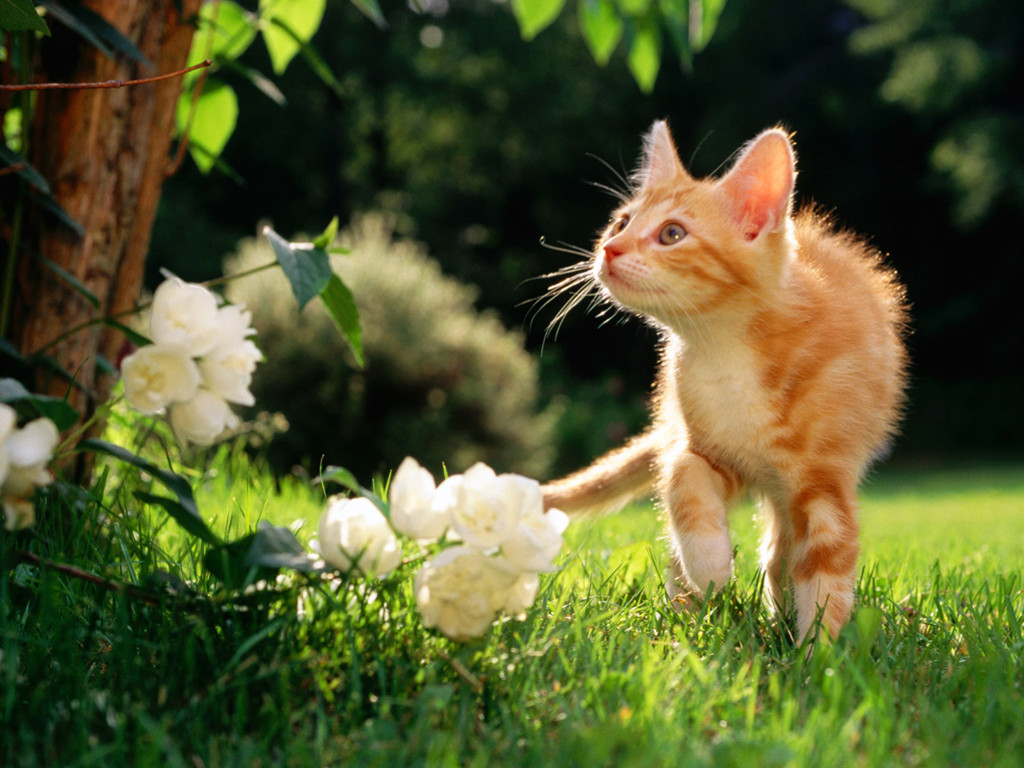 Nature Wallpaper: Curious Cat