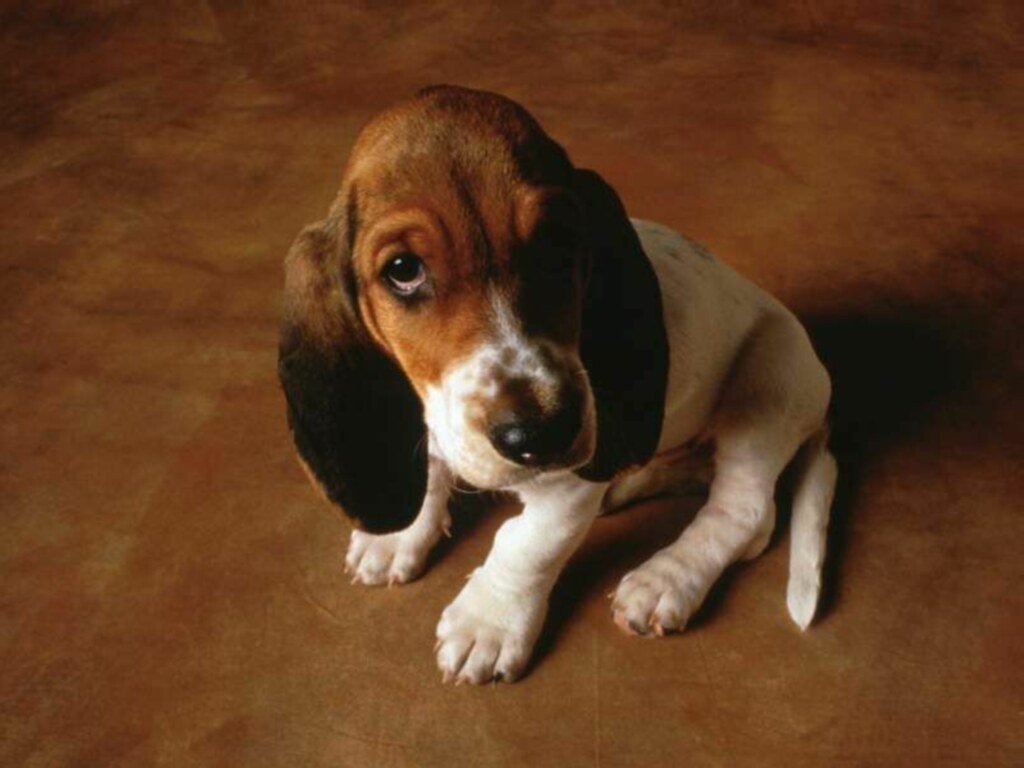 Nature Wallpaper: Cute Basset