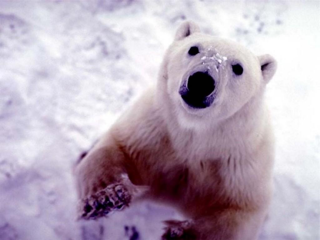 Nature Wallpaper: Cute Big Bear