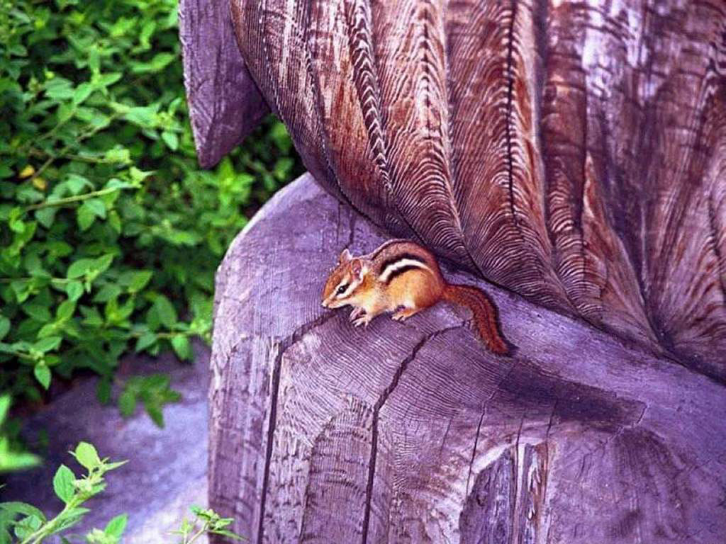 Nature Wallpaper: Cute Chipmunk
