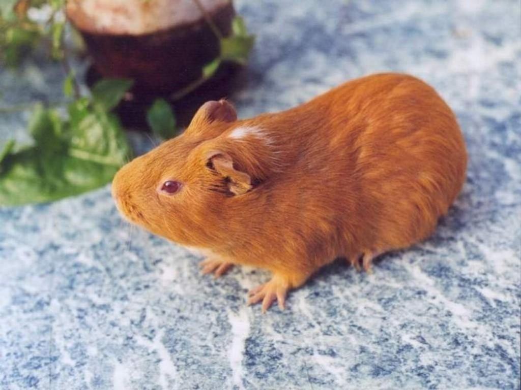 Nature Wallpaper: Hamster