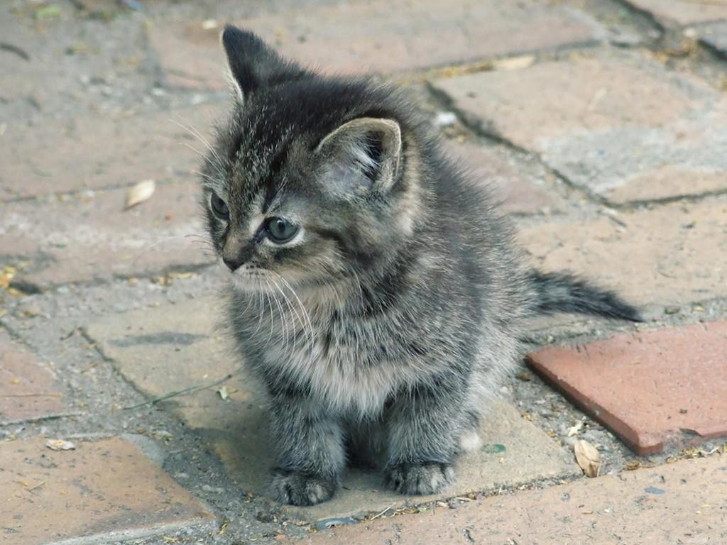 Nature Wallpaper: Cute Kitty