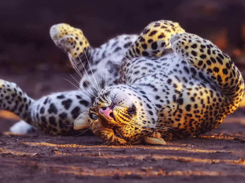 Nature Wallpaper: Leopard - Cute
