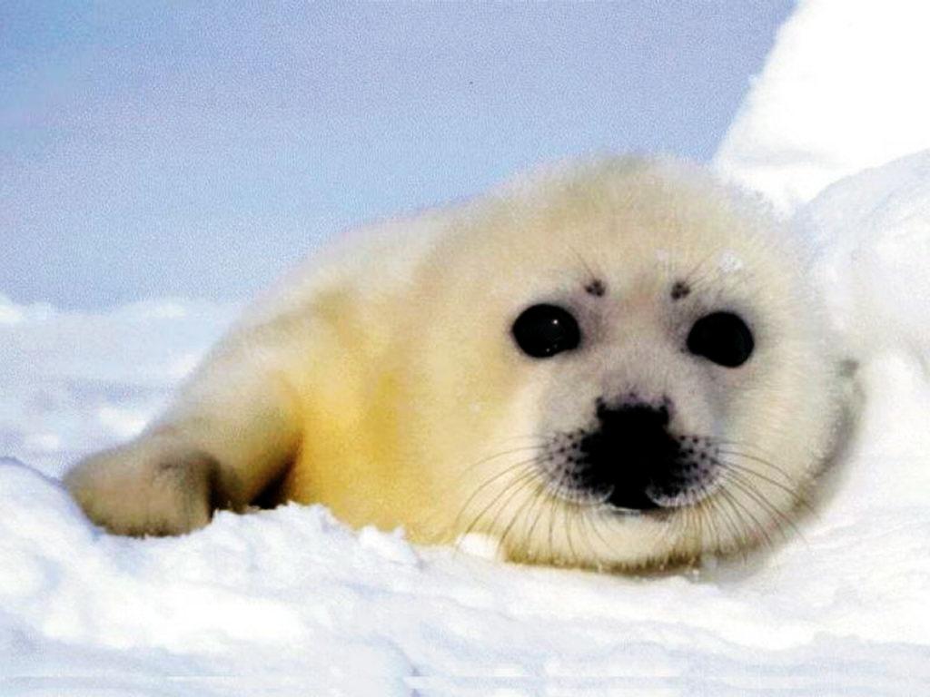 Nature Wallpaper: Cute Little Seal