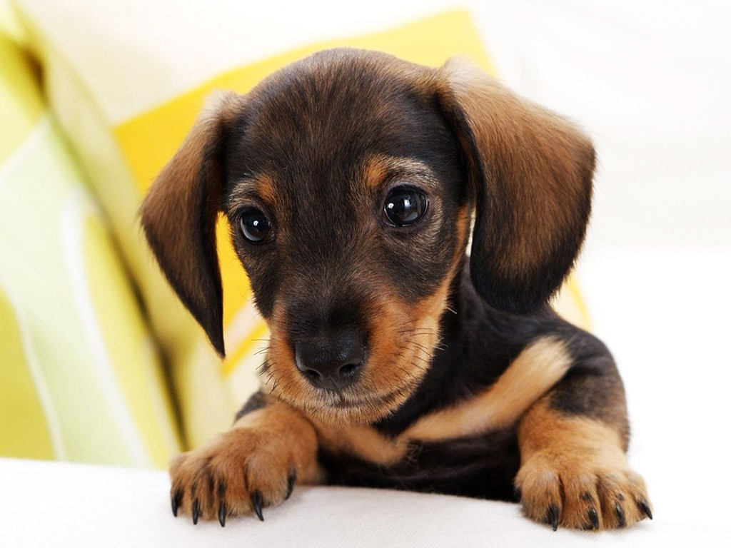 Nature Wallpaper: Puppy Dog