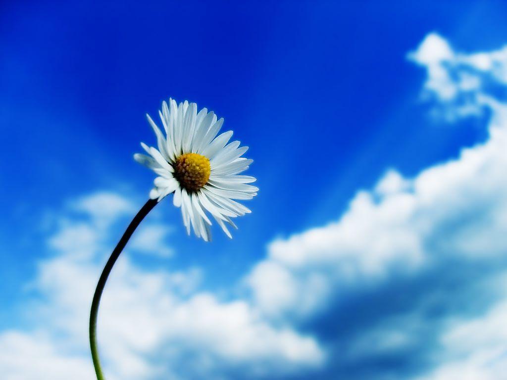 Nature Wallpaper: Daisy