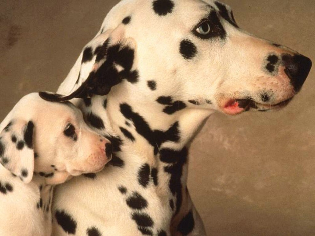 Nature Wallpaper: Dalmatian