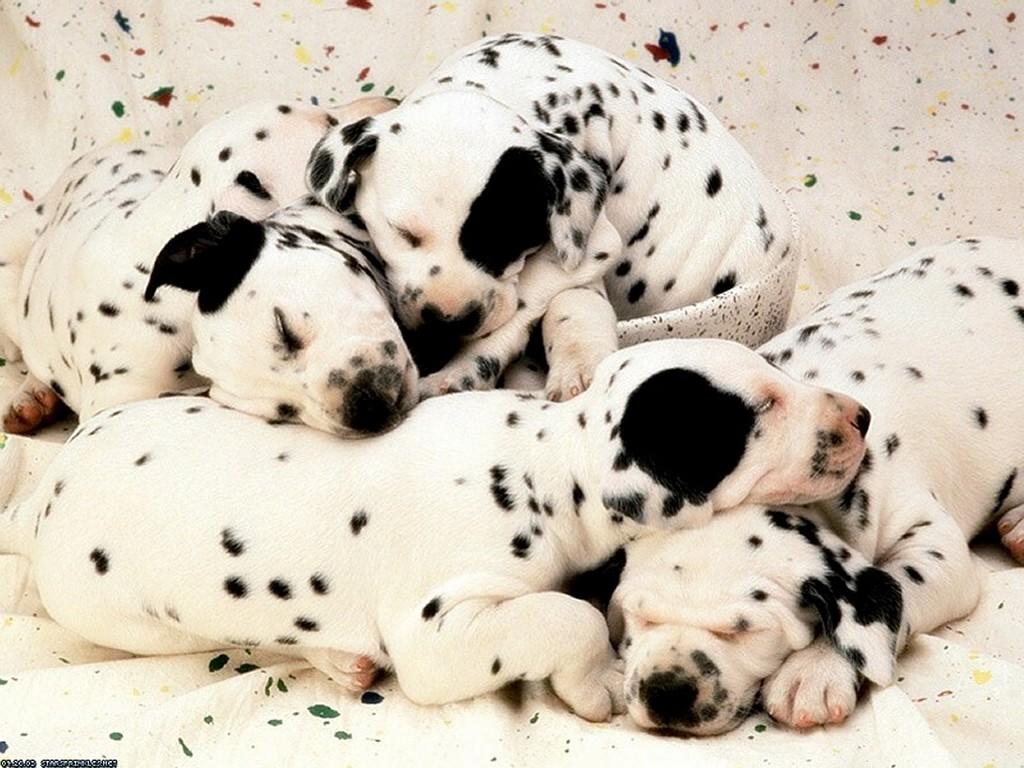 Nature Wallpaper: Dalmatians Puppies