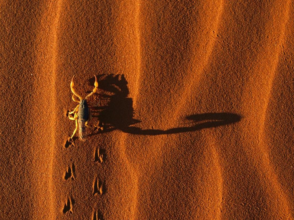 Nature Wallpaper: Desert Scorpion