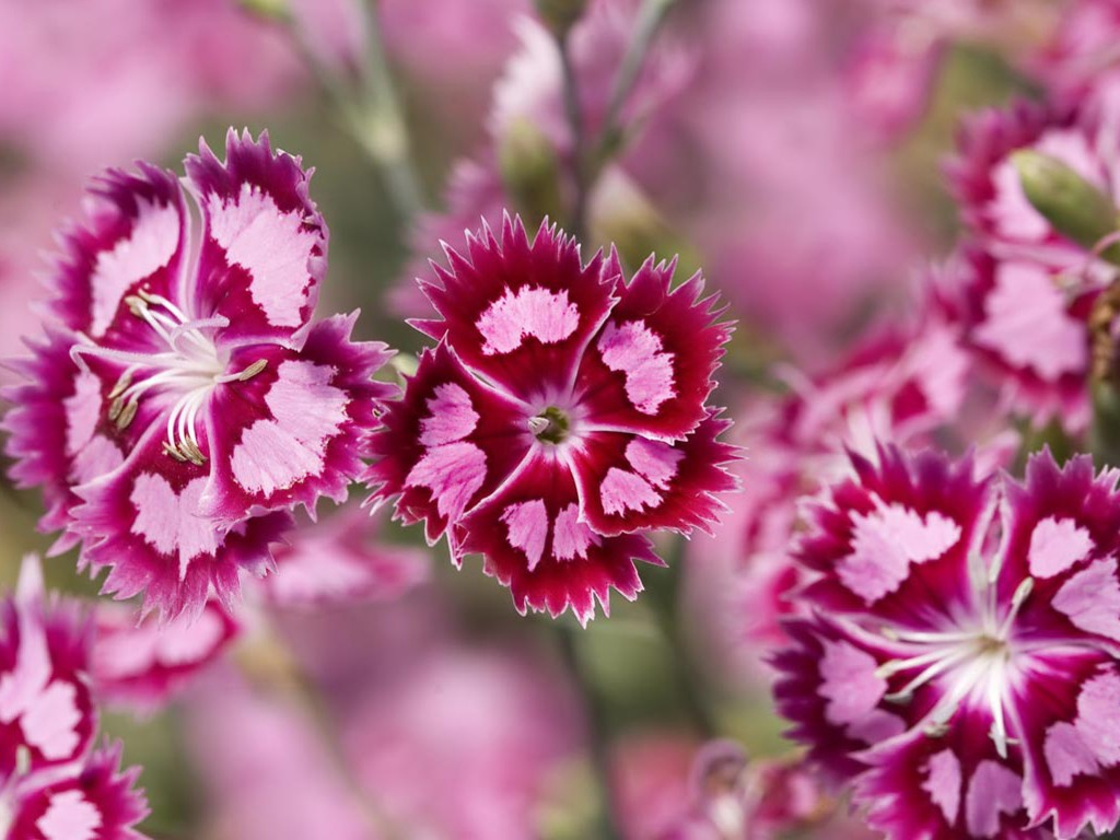 Nature Wallpaper: Sweet William (Dianthus Barbatus)