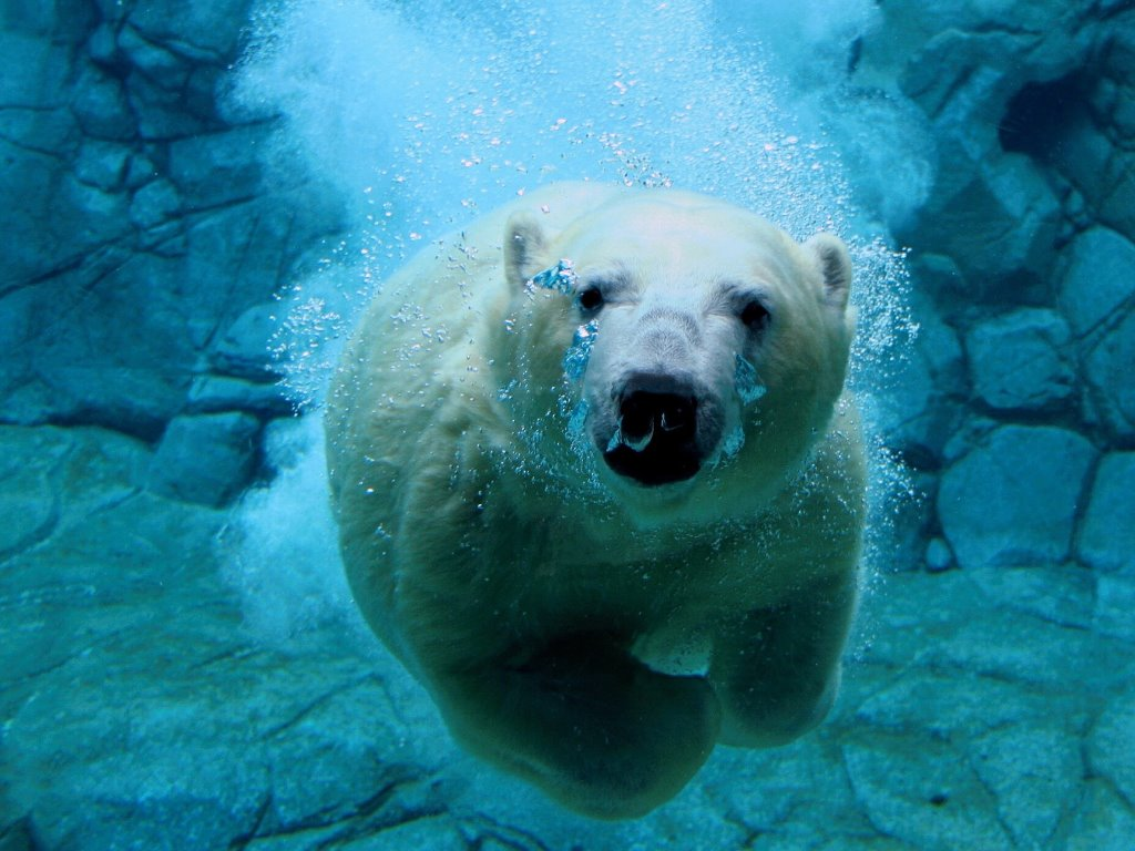 Nature Wallpaper: Diving Bear