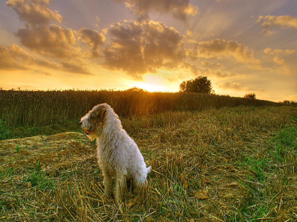 Nature Wallpaper: Dog - Farm