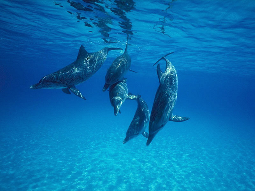 Nature Wallpaper: Dolphins