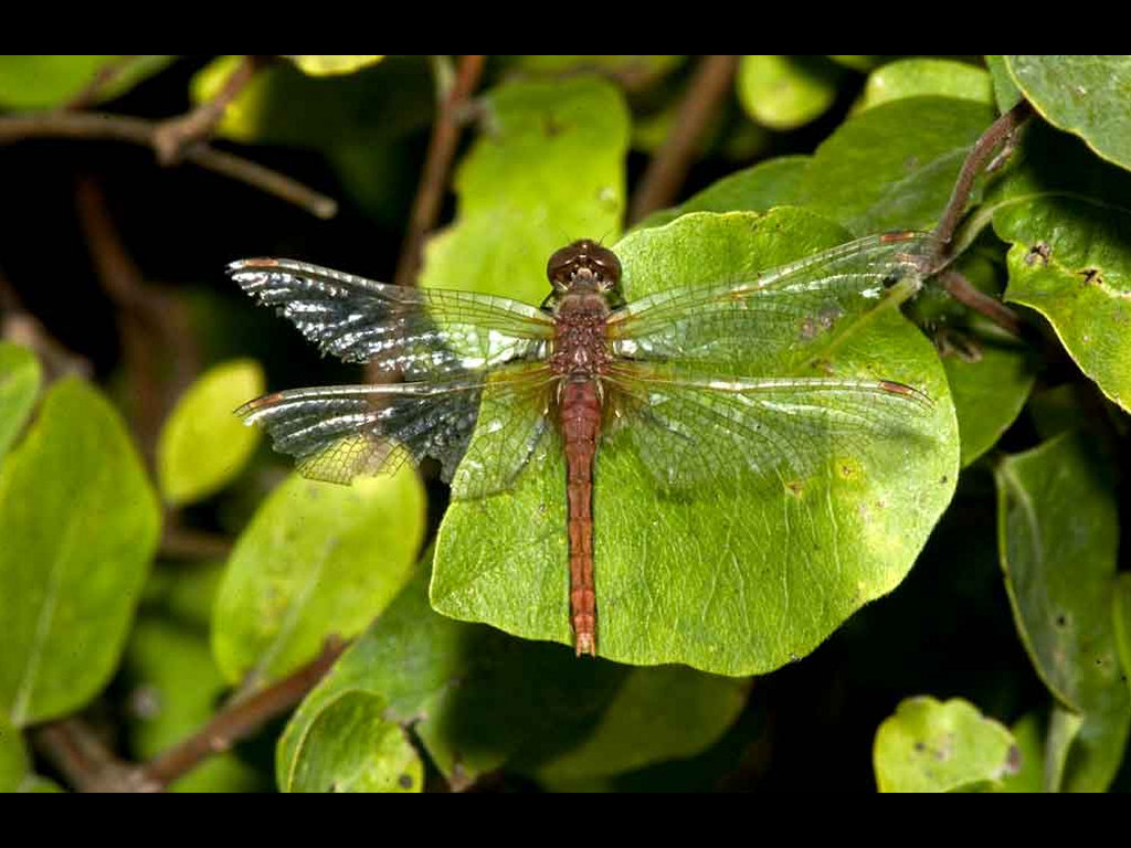 Nature Wallpaper:  Dragonfly