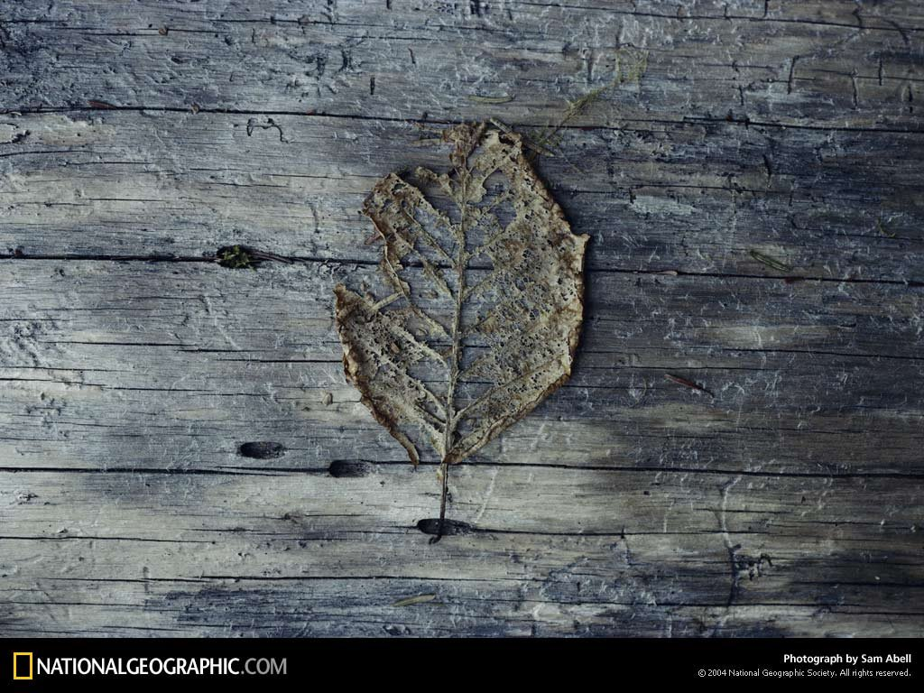 Nature Wallpaper: Dry Leaf