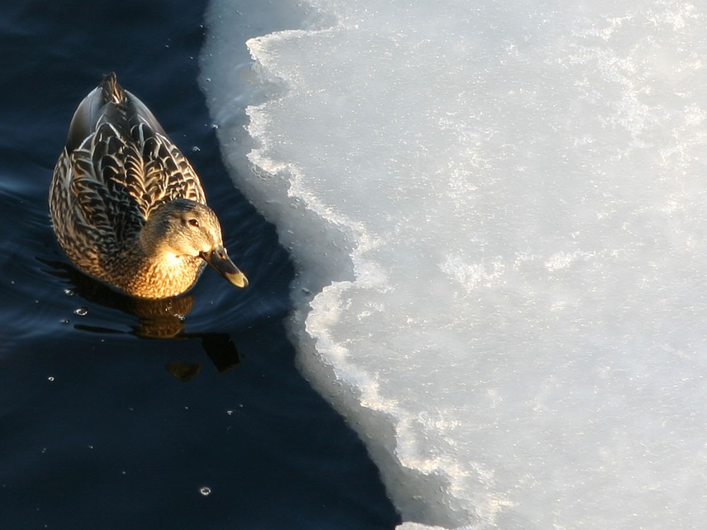 Nature Wallpaper: Duck in the Ice