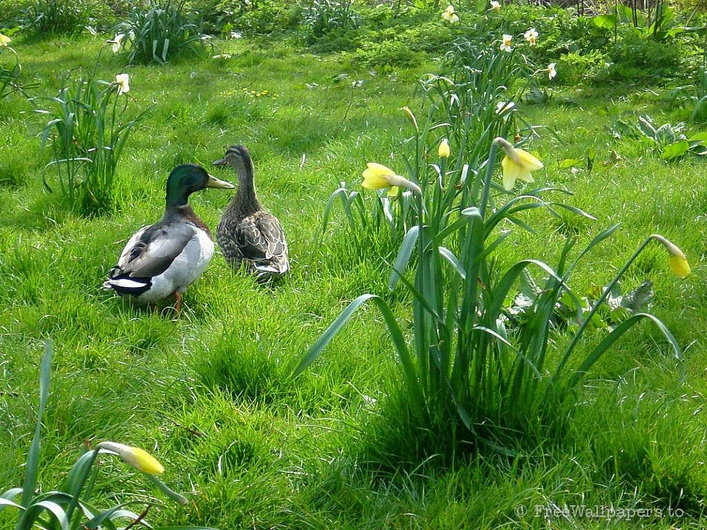 Nature Wallpaper: Ducks