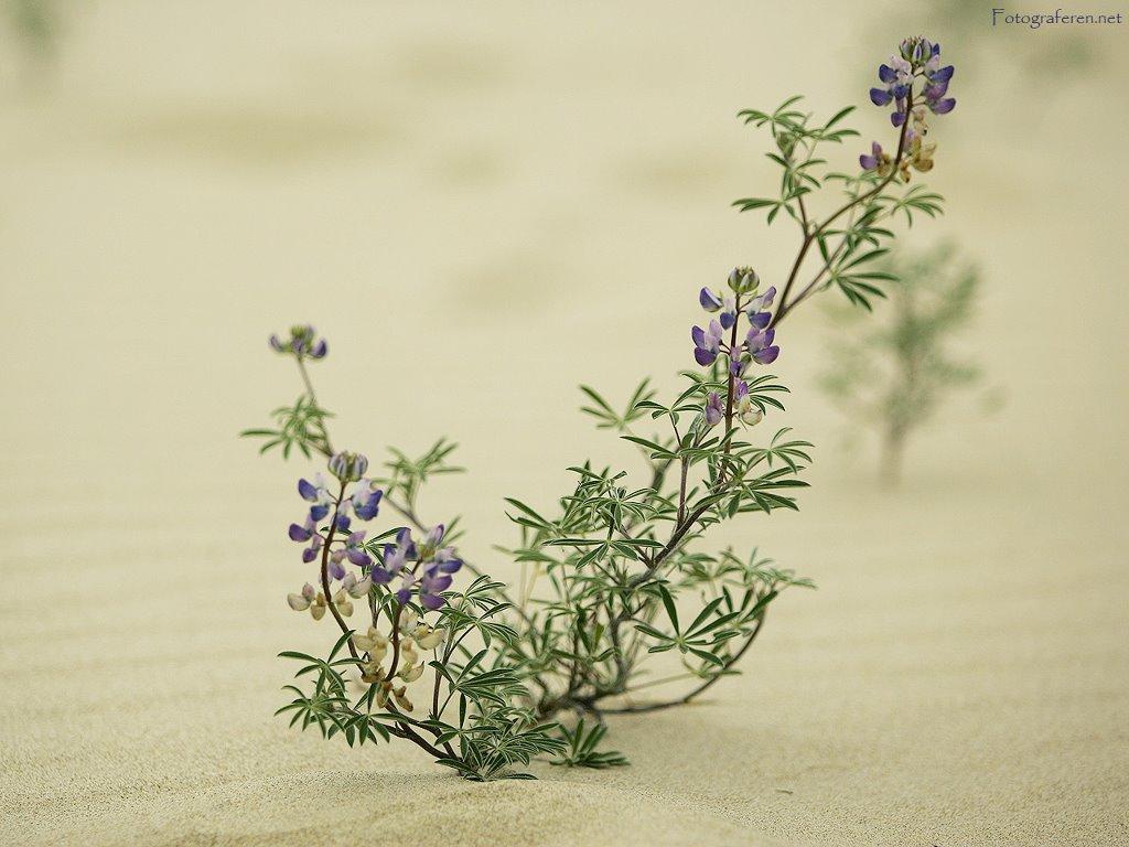Nature Wallpaper: Dune - Flower