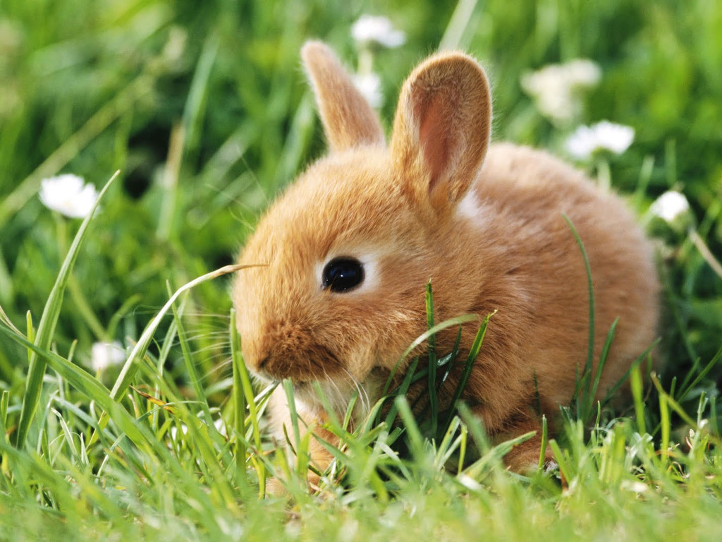 Nature Wallpaper: Dwarf Rabbit