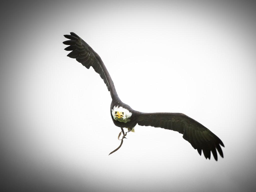 Nature Wallpaper: Eagle - Catch