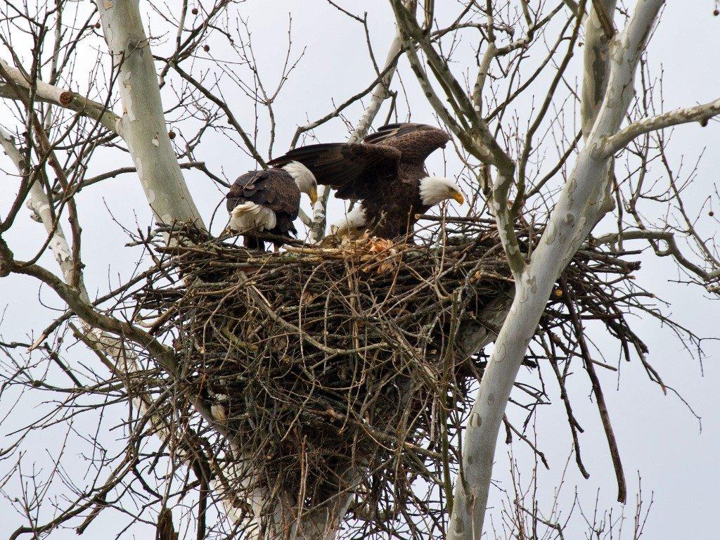 Nature Wallpaper: Eagle's Nest