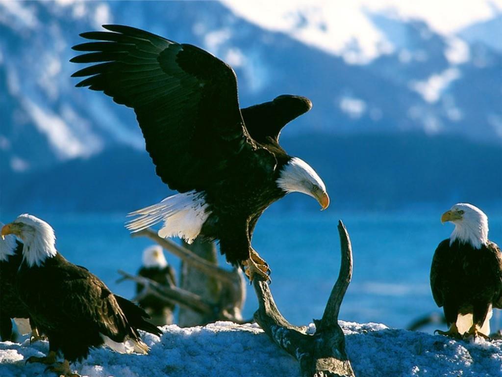Nature Wallpaper: Eagles