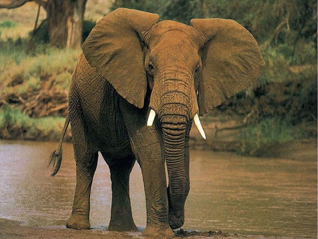 Nature Wallpaper: Elephant