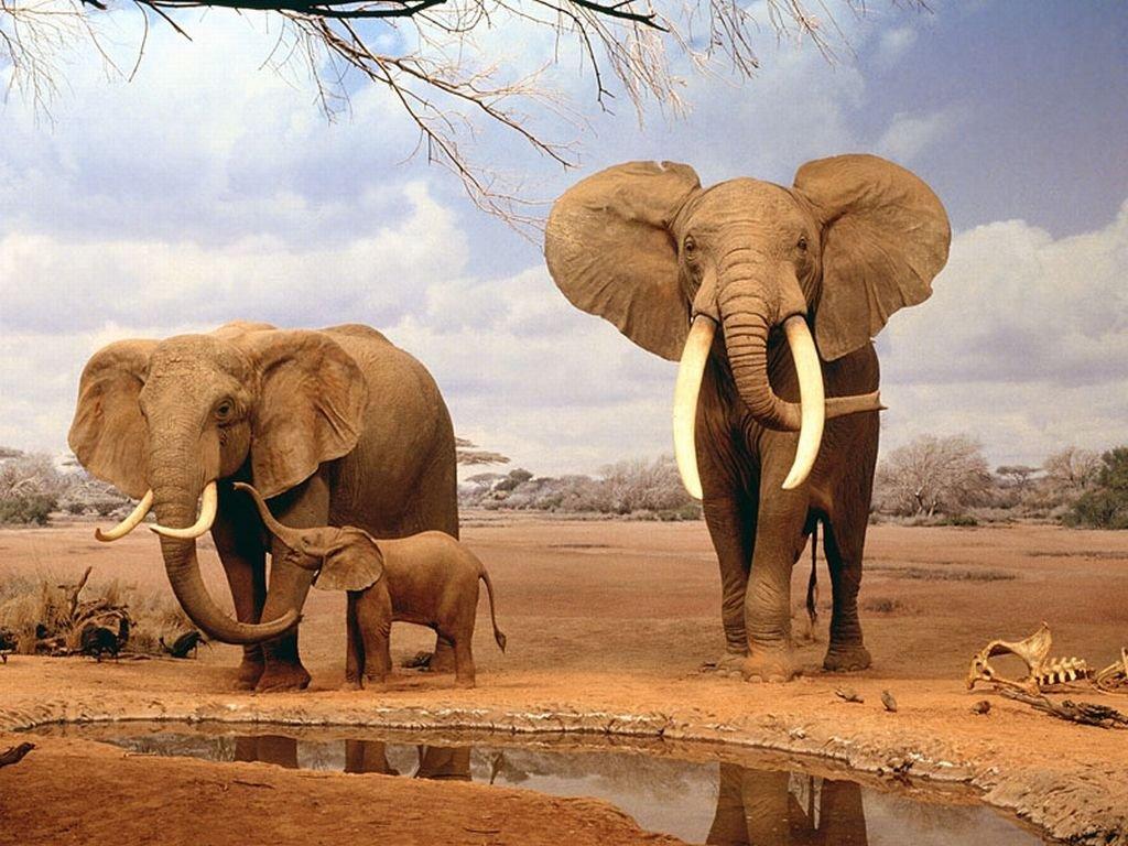 Nature Wallpaper: Elephants