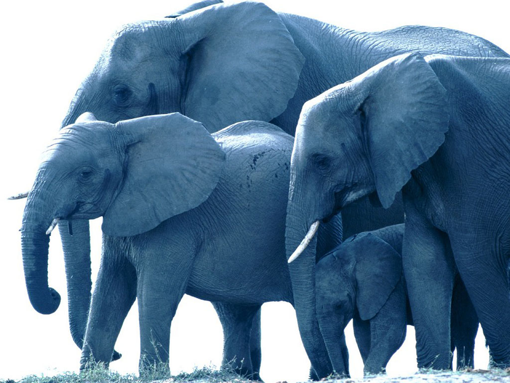 Nature Wallpaper: Elephants