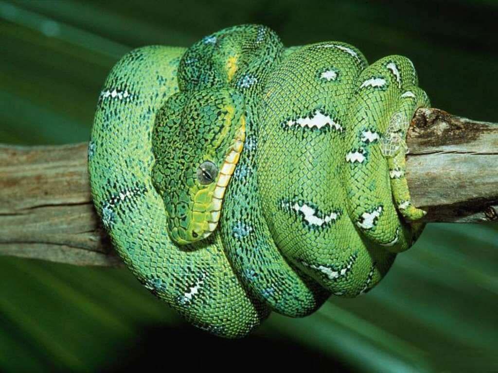 Nature Wallpaper: Emerald Tree Boa