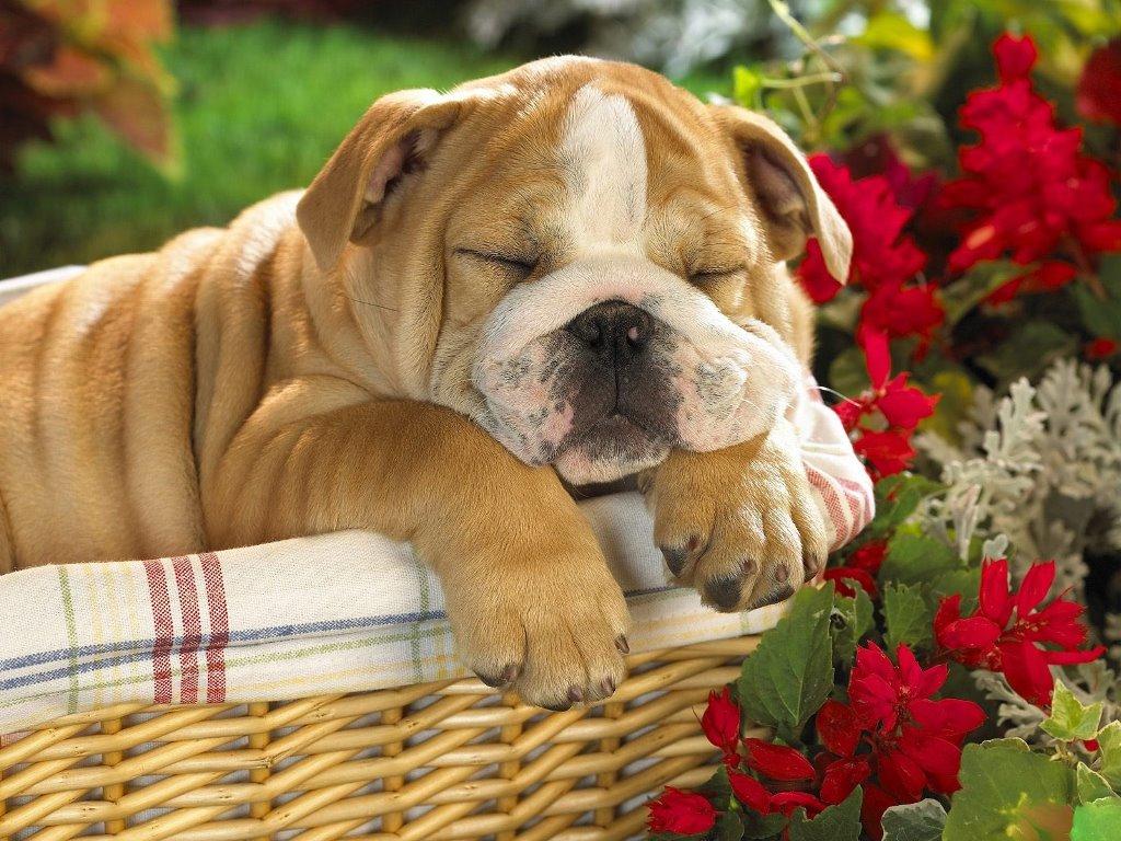 Nature Wallpaper: English Bulldog