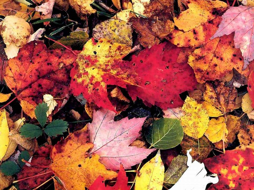 Nature Wallpaper: Fallen Leaves