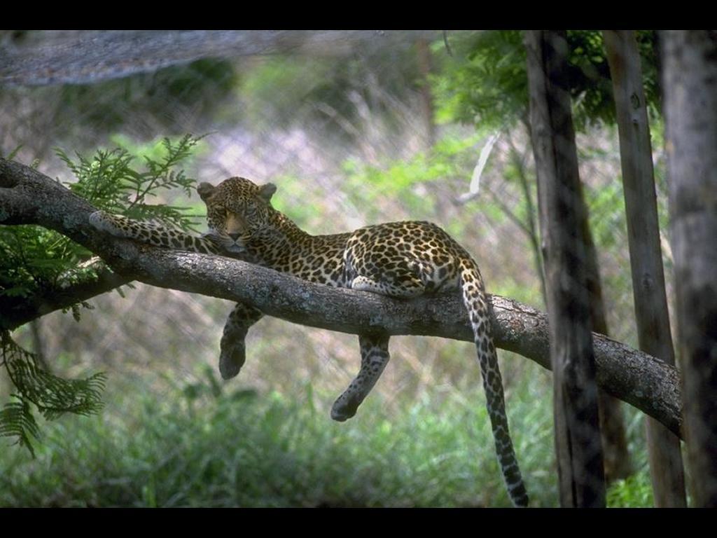 Nature Wallpaper: Feline