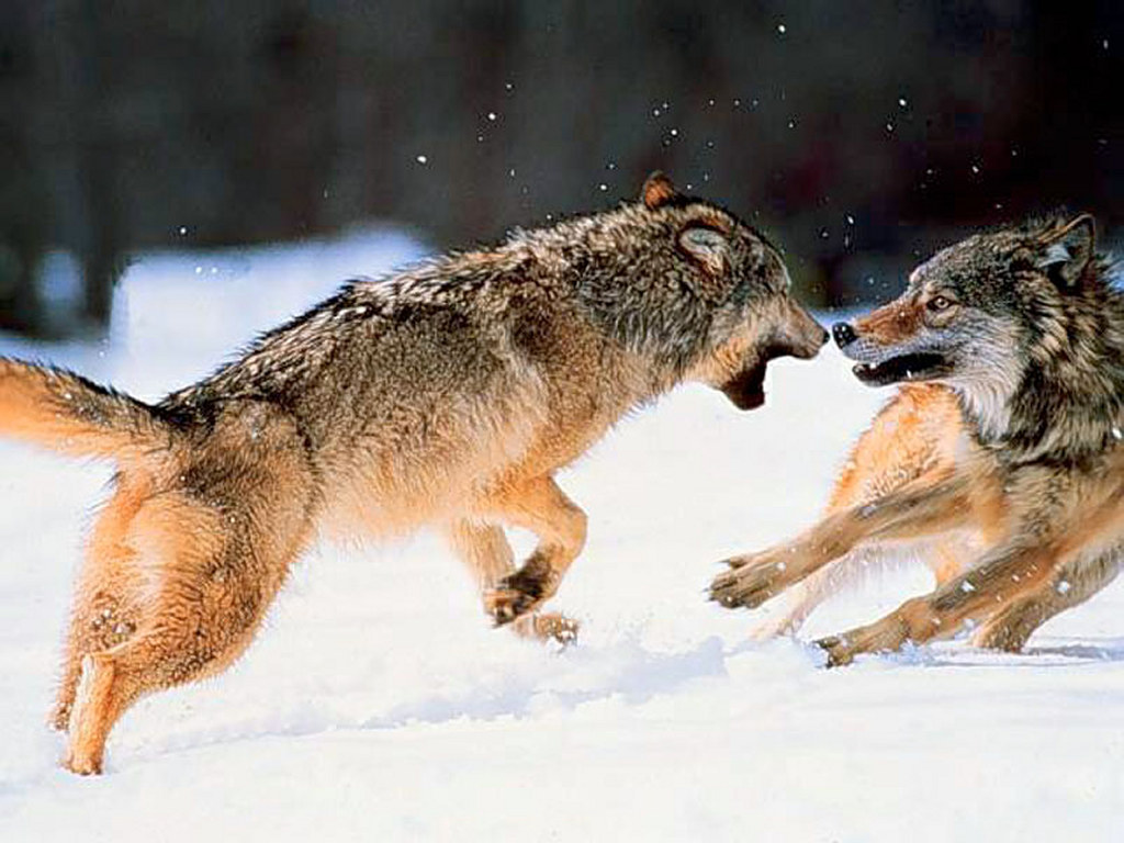Nature Wallpaper: Fighting Coyotes