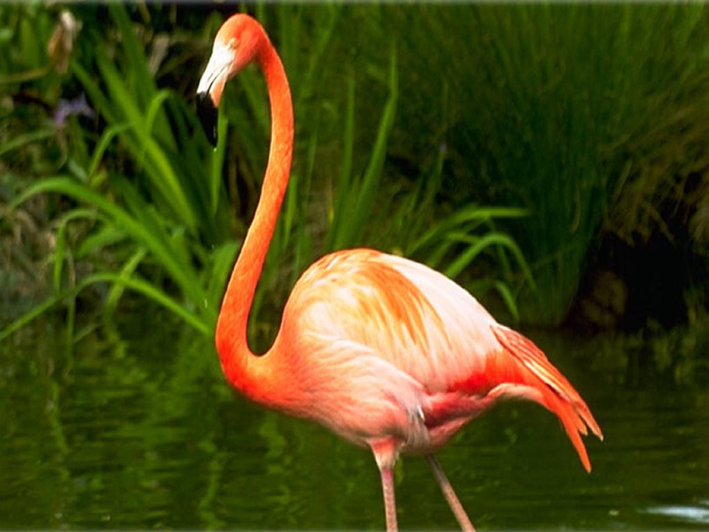 Nature Wallpaper: Flamingo