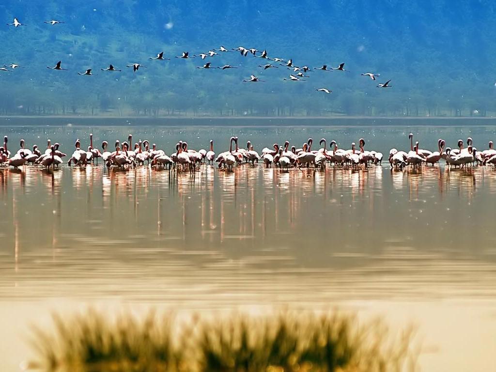 Nature Wallpaper: Flamingos