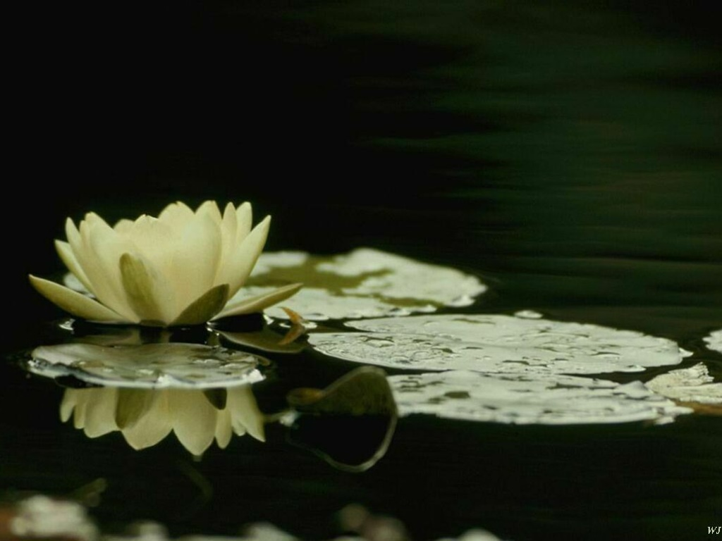 Nature Wallpaper: Flower on the Water
